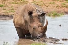 White Rhino Standing In The Water