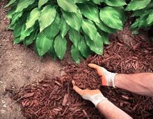 Closeup Man Wearing Gardening Gloves Spreading Brown Bark Mulch Around Hosta Plant In Garden, Hostas, Landscaping, Decorative, Shade Plant, Planting, Close-up, Yard, Lawn, Moisture