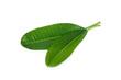 Leinwandbild Motiv plumeria leaf or frangipani leaf isolated on white background