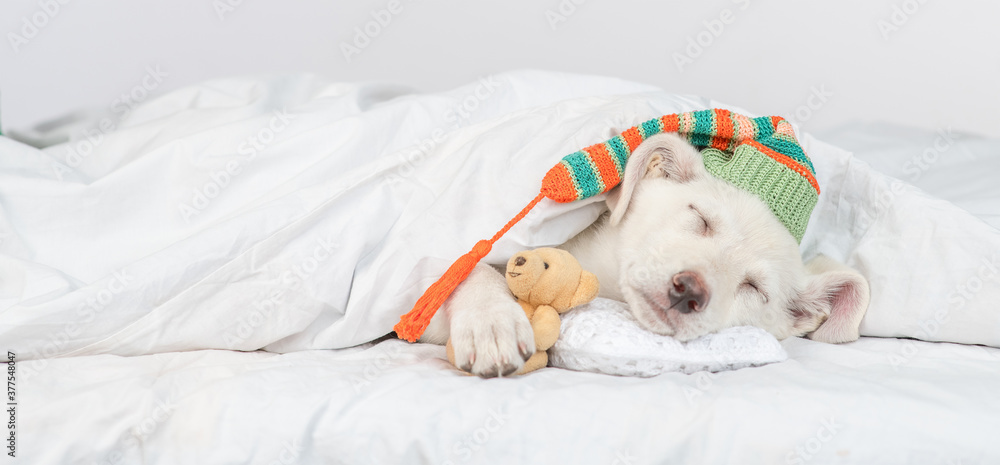 Fototapeta Puppy wearing warm hat hugs favorite toy bear and sleeps under white blanket at home. Empty space for text