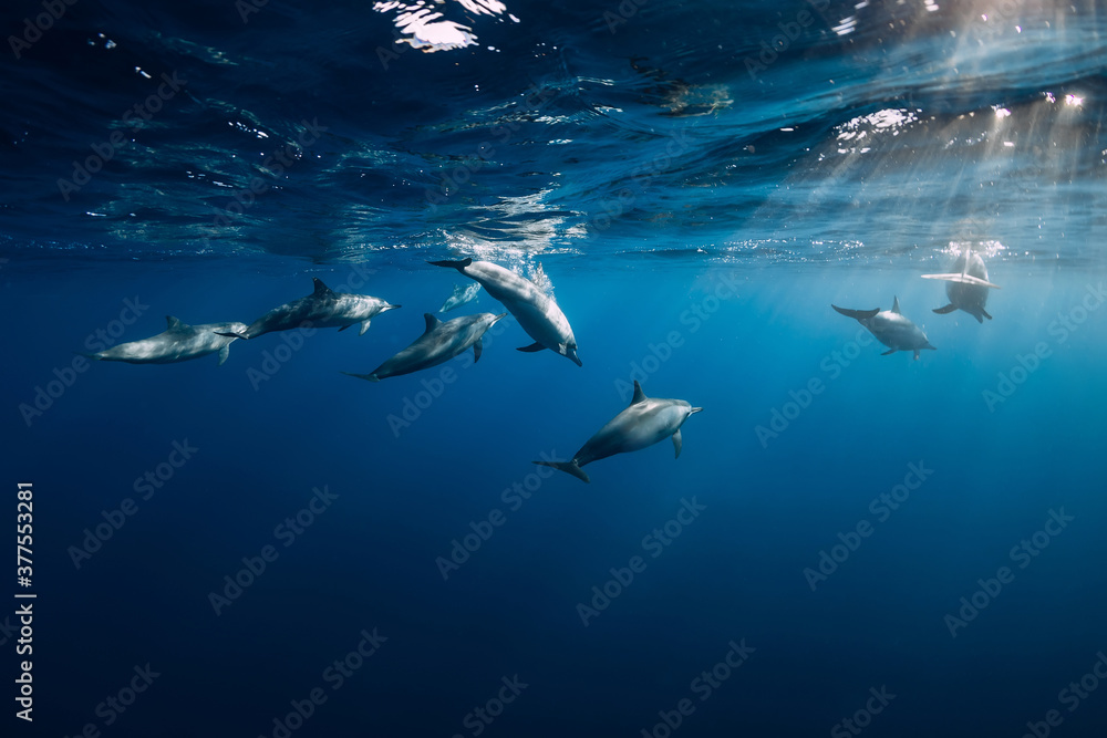 Fototapeta Dolphins underwater in blue tropical ocean.