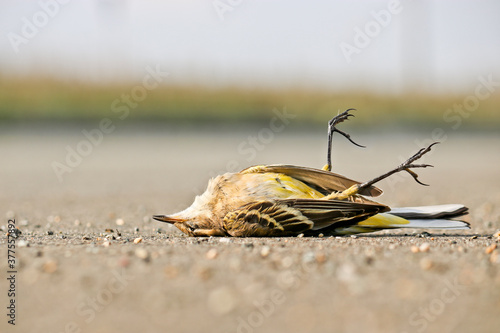Photo Dead western yellow wagtail (Motacilla flava)
