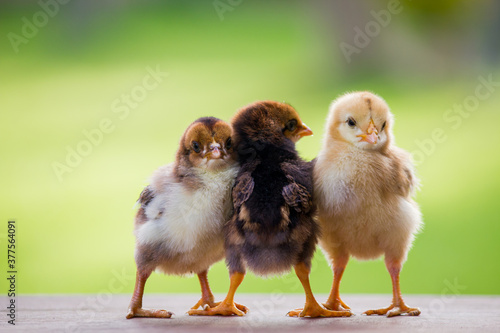 Foto Adorable baby chicken or chick friends on natural background for concept design