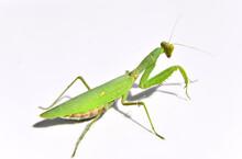 Praying Mantis On A Green Back...