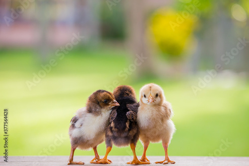 Beautiful baby chicken or chick friends on natural background for concept design Fotobehang