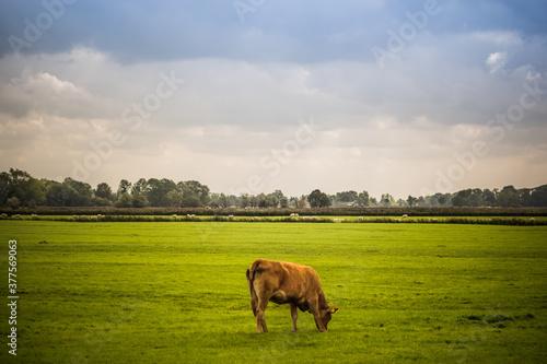 Fototapeta a brown cow grazing in a green meadow