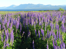 Purple Lupin Field By The Shor...
