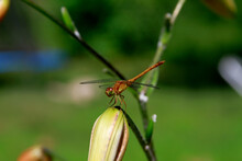 Dragonfly On Tiger Lily