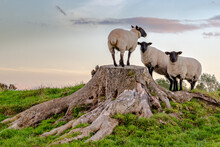 Curious Sheeps Resting On Larg...
