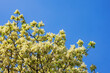 canvas print picture - Flowering tree against  blue sky on sunny spring day.  Branches of flowering ash tree ( Fraxinus ornus ). Copy space