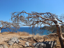 Tree Blown In The Wind Leaning Over With Ocean View. Rocks On The Floor With Dry Ground And Pine Cones In The Trees. Tall View On The Hill In Spinalonga Island