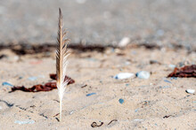 A Seagull Feather Stuck In San...