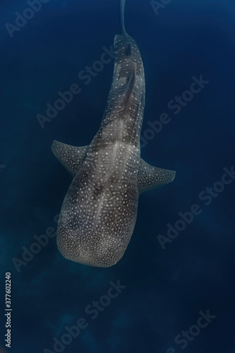 Fototapeta Overhead shot of a whaleshark (Rhincodon typus) while swimming gracefully above the reef