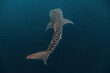 canvas print picture - Massive whaleshark (Rhincodon typus) swimming gracefully in the deep.