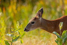 Close Up Of White-tailed Deer ...