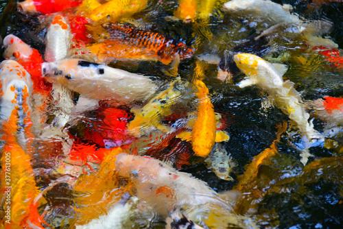 Photo Blurred Fancy carp in water.