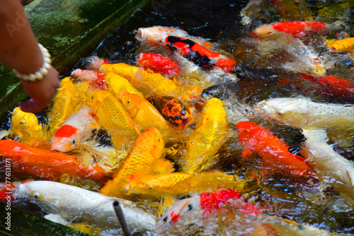 Blurred Fancy carp in water. Canvas Print