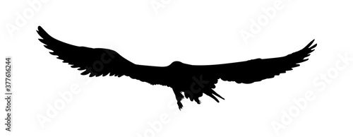 Black silhouette eagle, falcon, hawk or orel isolated on white background Fototapet