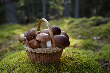 Mashrooms Boletus In Wicker Ba...