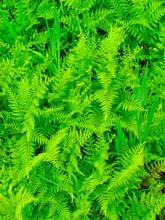 Beautyful Leaf Of Fern (Cyathea Lepifera)