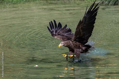 Fotografía white tailed eagle hunts for prey in the river