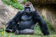 Silverback Gorilla Resting In...