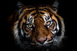 Portrait of tiger with a black background