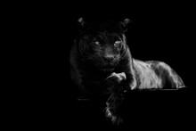 Black Jaguar With A Black Back...