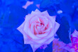 canvas print picture - close-up: isolated big rose with color temperature of 2000K
