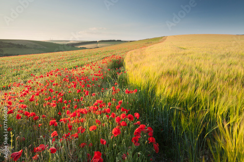 A poppy and barley field in the summer Fototapet