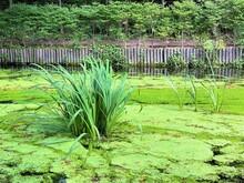 アシとコウキクサの茂る池