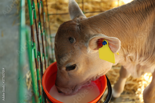 Pretty little calf drink milk from bucket on farm, closeup. Animal husbandry