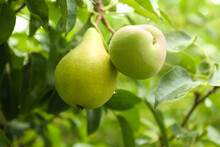 Ripe Pears On Tree Branch In G...