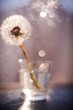 Close-up Of A Dandelion In A G...