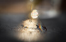 Close-up Of Dandelion Seeds With Beautiful Bokeh