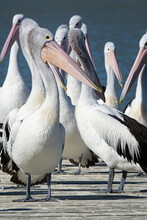Pelican Standing In Front Of Group On A Wooden Landing. Portrait Orientation.