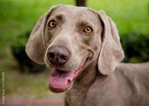 Tablou Canvas Portrait of cute weimaraner dog breed at the park.