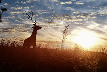 Silhouette Of A Deer Walking Along In Ridge Top Landscape At Sunset.