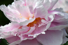 Blooming White-pink Peony Clos...