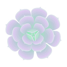 Succulent Echeveria Top View. The Plant Is Isolated On A White Background. Vector Illustration.