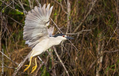 Canvas Print Black crowned heron