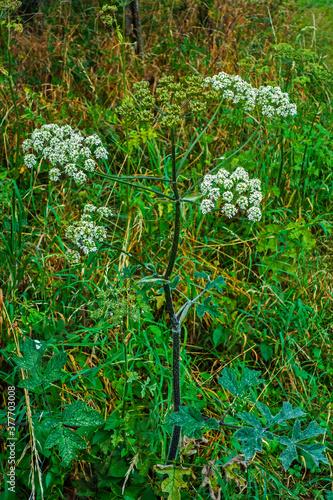 Fototapeta Close up of Common hogweed (Heracleum sphondylium)