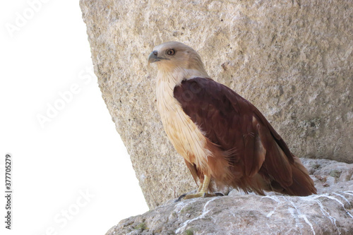 Fotomural Red Hawk bird of prey sitting on stone isolated on white