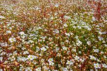 Dense White Flower Vegetation
