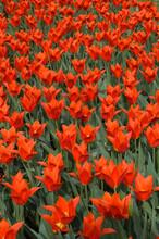 Tulipa Lelie, Syneada Orange, Grand-Bigard Castle, Brabant Province, Belgium