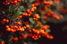 Group Of Tiny Orange Pyracantha Berries With Green Leaves