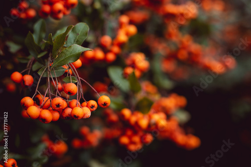 Fototapeta Group of tiny orange pyracantha berries with green leaves