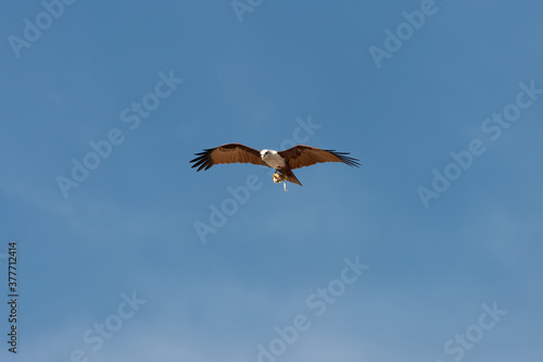 Bird of prey in flight isolated in blue background.Brahminy kite eagle with spreading red wings flying and soaring over andaman coastline with octopus in claw , low angle view. #377712414