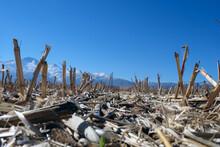 Dried Corn In The Field