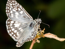 Checkered-Skipper Of The Tribe Pyrgini